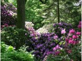 Rhododendrony